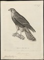 Hypotriorchis femoralis - 1700-1880 - Print - Iconographia Zoologica - Special Collections University of Amsterdam - UBA01 IZ18200217.tif