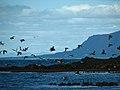 IS - Reykjavik - Puffin Island - (4889932237).jpg
