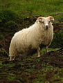 Icelandic breed sheep.jpg