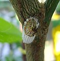 Icerya purchasi. Margarodidae, Coccoidea,Sternorrhynha, Hemiptera - Flickr - gailhampshire (2).jpg