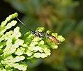 Ichneumonidae, probably Campopleginae (36107816884).jpg