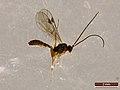 Ichneumonidae sp. (40315587961).jpg