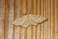 Idaea aversata (36359969576).jpg