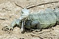 Iguana Iguana iguana (2446950277).jpg