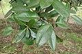 Ilex latifolia kz01.jpg