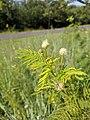 Illinois Bundleflower Flower.jpg