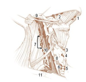 Cervical lymph nodes - Deep Lymph Nodes 1. Submental 2. Submandibular (Submaxillary)  Anterior Cervical Lymph Nodes (Deep) 3. Prelaryngeal 4. Thyroid 5. Pretracheal 6. Paratracheal  Deep Cervical Lymph Nodes 7. Lateral jugular 8. Anterior jugular 9. Jugulodigastric  Inferior Deep Cervical Lymph Nodes 10. Juguloomohyoid 11. Supraclavicular (scalene)