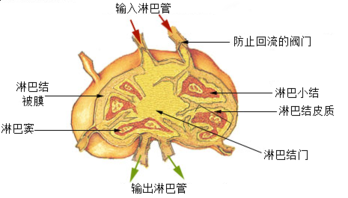 Illu lymph node structure zh.png