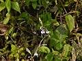 Impatiens scabriuscula B.Heyne ex Wall. (31081974095).jpg