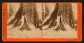 In the Mariposa Grove, Mariposa County, Cal, by Watkins, Carleton E., 1829-1916 5.png