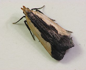 Gelechiidae - Dichomeris inserrata