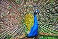 Indian peafowl.jpg