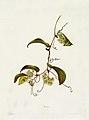 Indigenous Flowers of the Hawaiian Islands, Plate 4.jpg