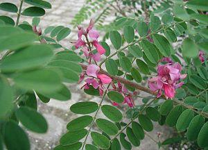 Indigofera gerardiana: Leaves and flowers.