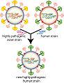 Influenza geneticshift.jpg