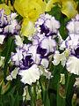 Iris 'Orinoco Flow' 02.JPG