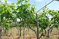 Italia 2010 - Perrini vineyards in Puglia.jpg