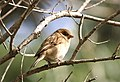 Italian Sparrow.jpg