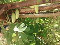 Ivy Gourds on the vine.jpg