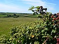 Ivy and blackberries near Dearswell - geograph.org.uk - 235684.jpg