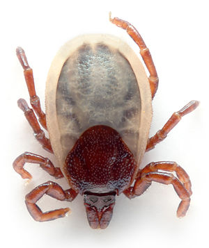 Weibliche Ixodes hexagonus (4 mm)