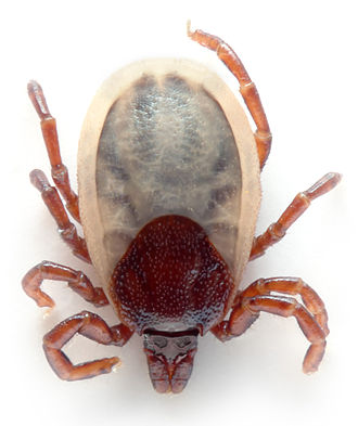 Arachnid - Ixodes hexagonus, a tick
