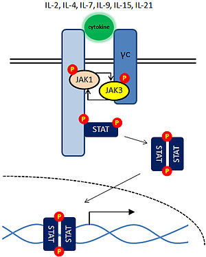 Janus kinase 3 - Activation of JAK3 by cytokine receptors that contain the common gamma chain (γc)