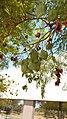 Jacaranda mimosifolia frutos.jpg