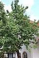 JagdschlossGrunewald 2018 09 22 SorbusDomestica 5.jpg