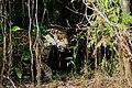 Jaguar (Panthera onca) female on the riverbank ... (48709867343).jpg