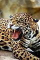 Jaguar - Cameron Park Zoo - Waco, Texas.jpg