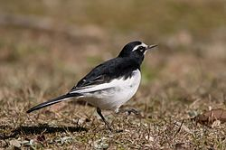 Japanese wagtail in Suita, Osaka, December 2016 - 205.jpg