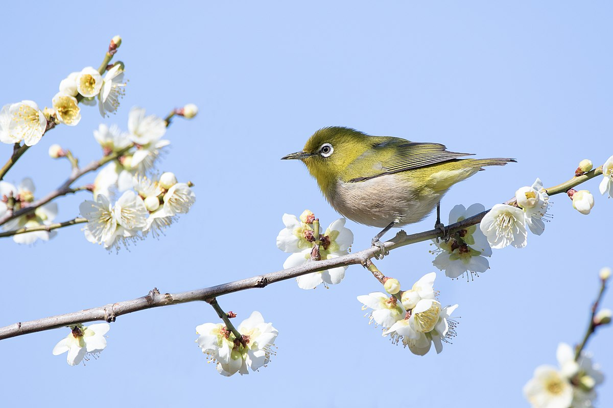Japanese white eye wikipedia biocorpaavc