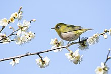 Japanese white-eye in Sakai, Osaka, February 2016.jpg
