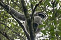 Javan Gibbon - Gunung Gede - West Java MG 4929 (29836250395).jpg