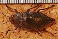 Jewel Beetle (Dicerca aenea) (8252804102).jpg