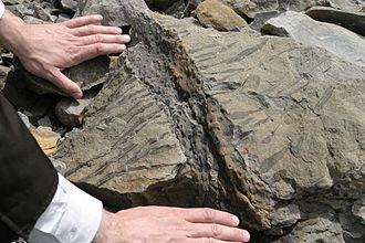 Joggins - Imprint of a fossilized root found near the cliffs at Joggins, Nova Scotia.