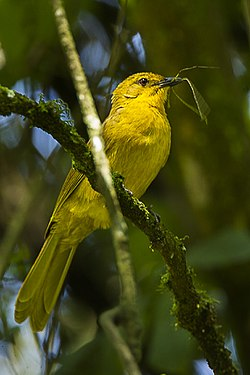 Joyful Greenbul song, recorded in Kitale, Kenya