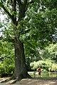 Juglans intermedia vilmoriana JPG01b.jpg