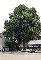 Julianaboom, Kerkstraat, Waddinxveen (1).jpg