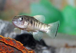 <i>Cyprinodon julimes</i> species of fish