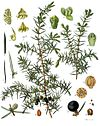 Juniperus communis - Köhler–s Medizinal-Pflanzen-082.jpg