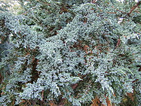 Description de l'image Juniperus squamata0.jpg.