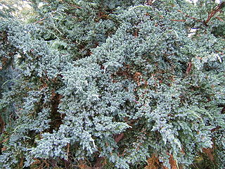 <i>Juniperus squamata</i> species of plant