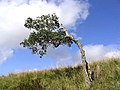 Just hanging on and no more - geograph.org.uk - 564750.jpg