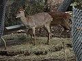 Juvenile Vietnam Deer (2379581089).jpg