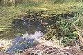 Kaczka dziwaczka w mętnej wodzie - panoramio.jpg