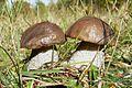 Kaszubski Park Etnograficzny, Wdzydze Kiszewskie, mushroom (leccinum).JPG