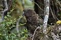 Kea - New Zealand (24402055077).jpg
