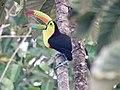 Keel-billed toucan (38897864060).jpg